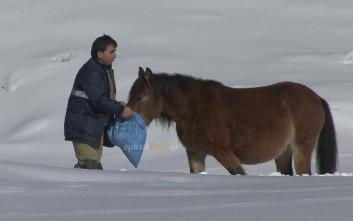 Ο απεγκλωβισμός αλόγων από τα χιόνια στις πλαγιές βουνού