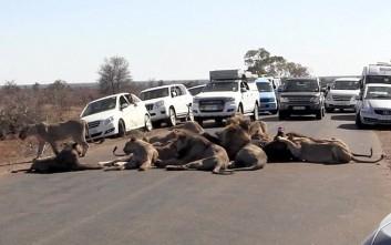 Αγέλη λιονταριών προκαλεί… μποτιλιάρισμα