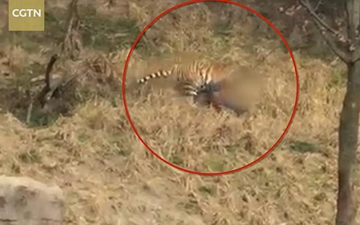 Τίγρη κατασπάραξε άνδρα μπροστά στα μάτια της γυναίκας και του παιδιού του