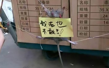 Ποντίκι τιμωρείται με κρέμασμα και διαπόμπευση επειδή έφαγε ρύζι!
