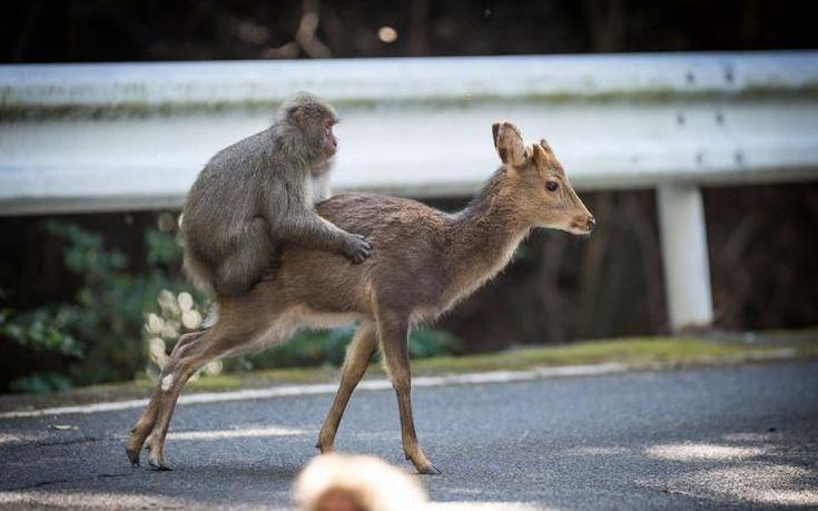 Μαϊμού προσπάθησε να κάνει σεξ με ελάφι