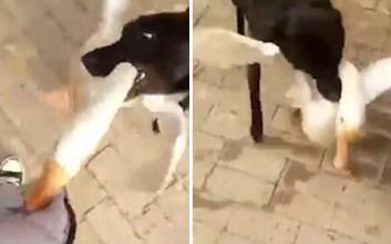 Σκύλος εναντίον χήνας με… έπαθλο τον άνθρωπο
