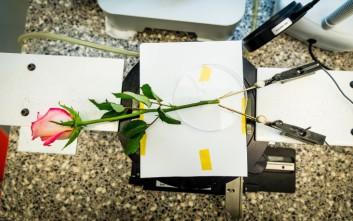 Δημιούργησαν ρεύμα από τριαντάφυλλο