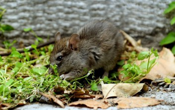 Μαθητές κάνουν μάθημα παρέα με ποντίκια σε νηπιαγωγείο της Αλεξανδρούπολης