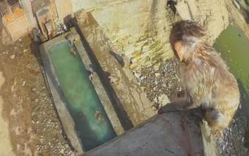 Πιθηκάκι μαθαίνει να κάνει βουτιές από ψηλά