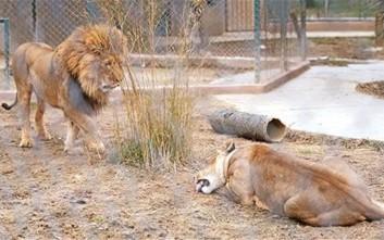 Ζευγάρι λιονταριών βρέθηκε ξανά μαζί την ημέρα του Αγίου Βαλεντίνου