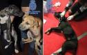 Η εισβολή αστυνομικών σε fight club ζώων που έσωσε 230 σκυλιά