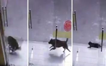 Σκύλος διαλύει τζαμαρία κυνηγώντας... το θύμα του