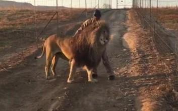 Το λιοντάρι που περπατά μόνο όταν το χαϊδεύουν