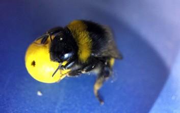 Μέλισσες έμαθαν να παίζουν... ποδόσφαιρο
