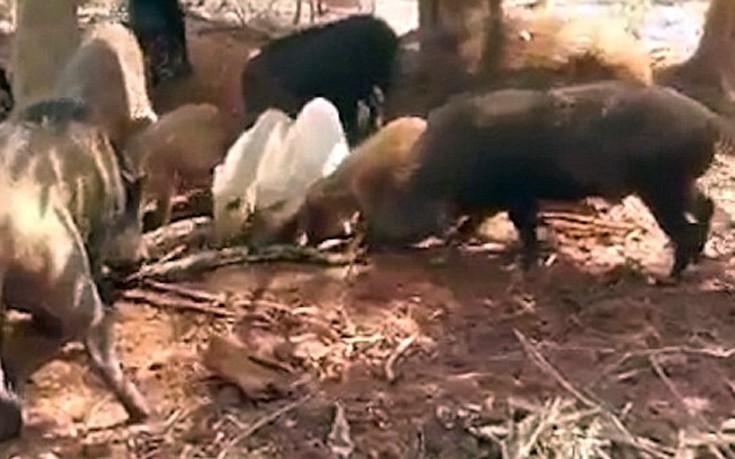 πύθωνας Γουρούνια Βίντεο