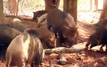 Γουρούνια κομματιάζουν γιγάντιο πύθωνα
