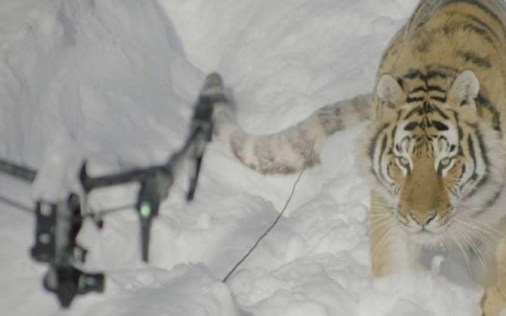 Τίγρεις σε σφαγείο κυνηγούν drone και το καταρρίπτουν