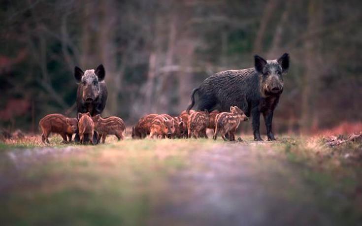 Ραδιενεργά αγριογούρουνα 30 χρόνια μετά το Τσερνόμπιλ