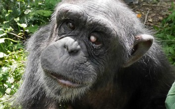 Η σπαρακτική ιστορία του χιμπατζή με το «Σύνδρομο Down»
