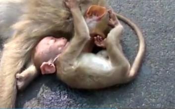 Η μικρή μαϊμού και ο σπαρακτικός θρήνος για τη νεκρή μητέρα της