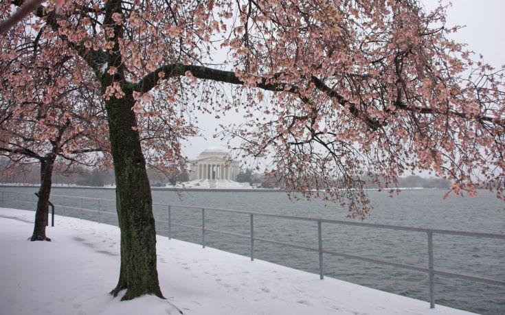 Ο χιονιάς στην Ουάσιγκτον δεν κατάφερε να «νικήσει» τις διάσημες κερασιές
