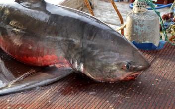 Καρχαρία τεσσάρων μέτρων έβγαλε ψαράς στη Νέα Κίο