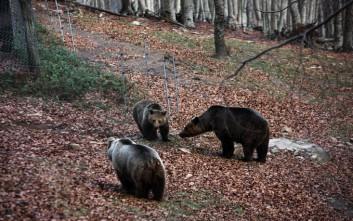 Έφεραν... ιπτάμενες αρκούδες στη Γαλλία, αλλά οι ντόπιοι θέλουν να τις διώξουν