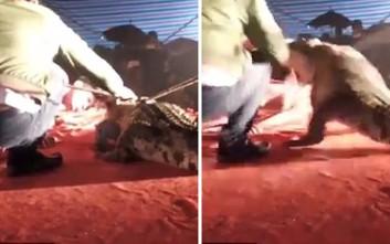 Κροκόδειλος δαγκώνει εκπαιδευτή που είχε βάλει το κεφάλι του μέσα στα σαγόνια του