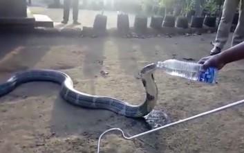 Η διψασμένη κόμπρα που πίνει νερό από το μπουκάλι