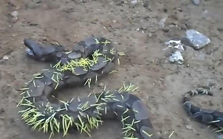 φίδι σκαντζόχοιρο Βίντεο