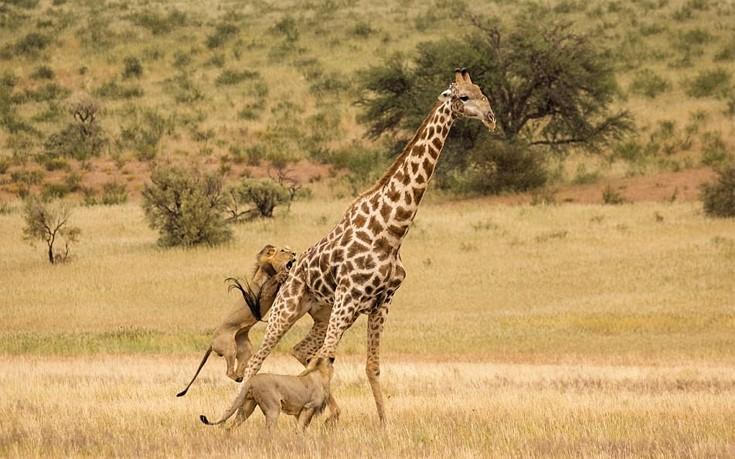 Η σκληρή μάχη των λιονταριών με την καμηλοπάρδαλη