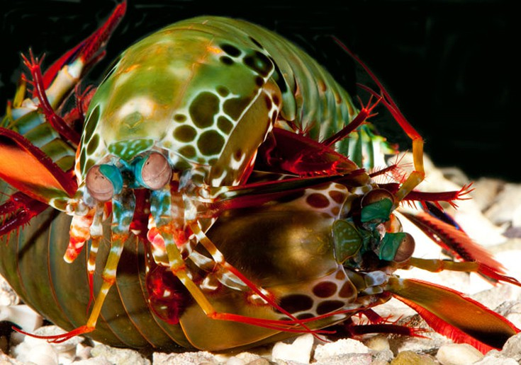 ζωϊκό βασίλειο γαρίδα μάντης γαρίδα