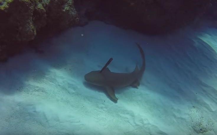 Δύτης αφαίρεσε καρφωμένο μαχαίρι από κεφάλι καρχαρία
