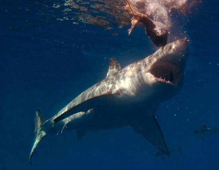 sharks13