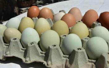 Κότες στο Ναύπλιο γέννησαν αυγά με... παράξενο χρώμα