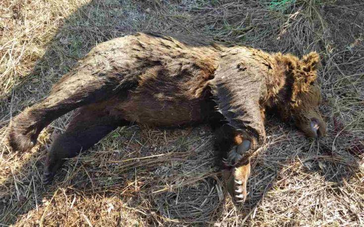 Νεκρή αρκούδα στη Φλώρινα
