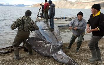 Πώς κυνηγούν φάλαινες στην Τσουκότκα της Ρωσίας