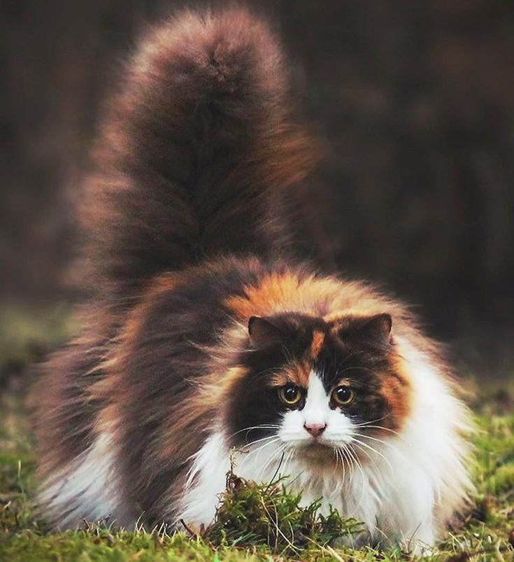 39bee8a89868 Οι πρόγονοι αυτής της γάτας είχαν εκτραφεί από τους Βίκινγκς πριν από 2.000  χρόνια. Μπορεί να αντέξει σε σκληρό παγετό και είναι πολύ καλός κυνηγός.