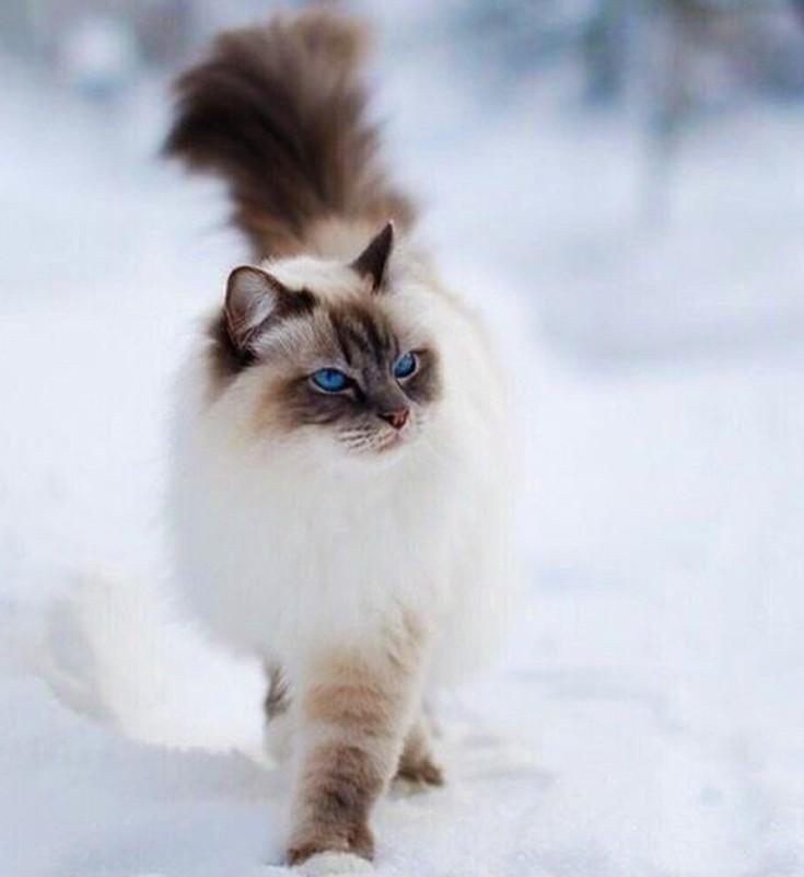 f73f392d2e73 Μοιάζει πολύ με τη γάτα Περσίας και ξεχωρίζει για τα μπλε μάτια της. Έχει  γενικά ήρεμη ιδιοσυγκρασία και η τιμή της μπορεί να φτάσει έως και τα 1.300  ...