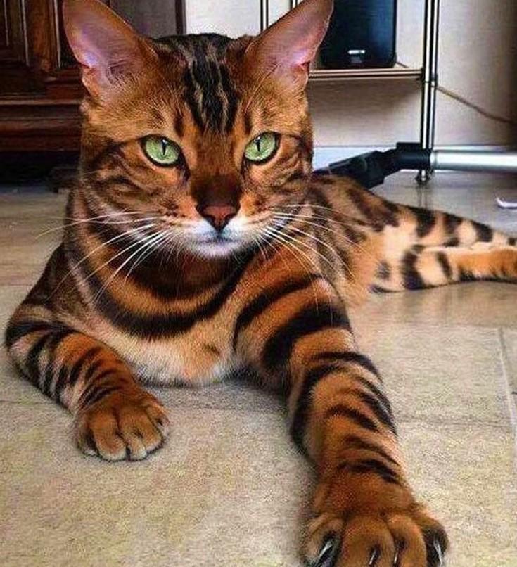 be2209f134d4 Οι δέκα πιο ακριβές γάτες του πλανήτη – Newsbeast