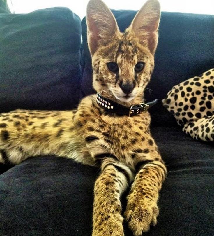 08c991f88ad6 Μια μέση γάτα ζυγίζει περίπου 15 κιλά και αυτή η ράτσα χαρακτηρίζεται από  την υψηλή νοημοσύνη της. Το κόστος της μπορεί να φτάσει ακόμη και τα 22.000  ...