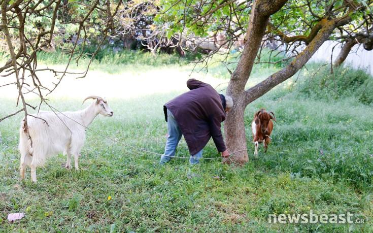 Ο Κρητικός που εκτρέφει κατσίκες δίπλα στη Λεωφόρο Κηφισίας