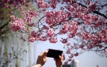 Άνθισαν ξανά οι περίφημες κερασιές στο Τόκιο