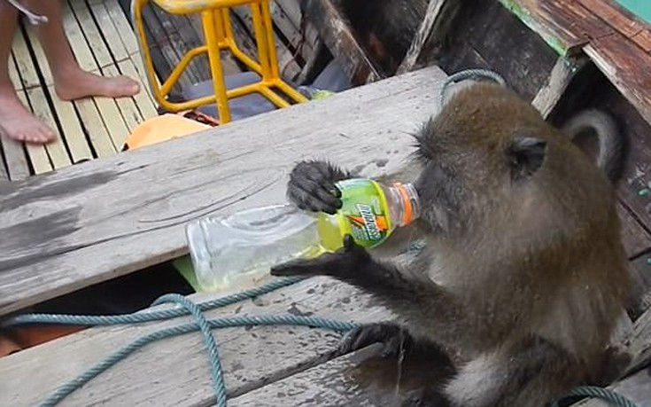 Μαϊμού «μερακλής» ανέβηκε σε βάρκα τουριστών για να πιει βότκα