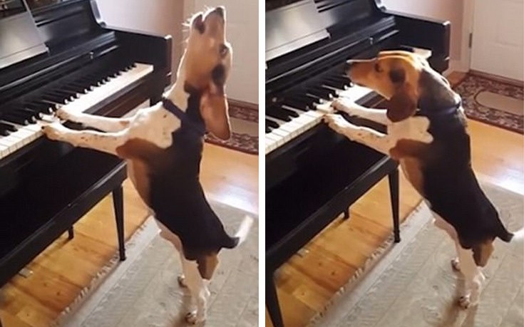 Ο πολυτάλαντος σκύλος που παίζει πιάνο και τραγουδάει