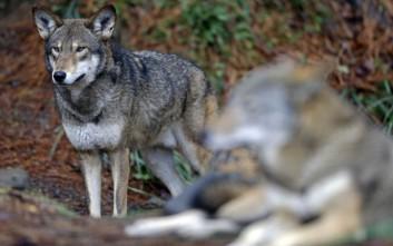 Έπειτα από 200 χρόνια οι λύκοι επέστρεψαν στη Δανία