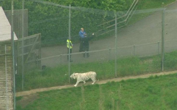Τίγρη σκότωσε φύλακα ζωολογικού κήπου στη Βρετανία