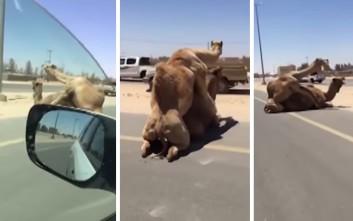 Καμήλες απολαμβάνουν τον έρωτά τους σε αυτοκινητόδρομο