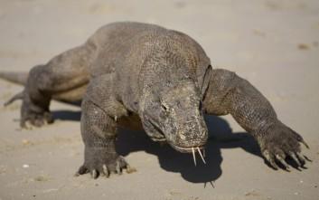 Δράκος του Κομόντο επιτέθηκε σε τουρίστα στην Ινδονησία