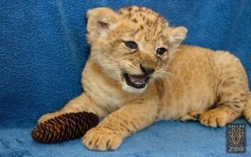 Πρώτη δημόσια εμφάνιση για νεογέννητο λιονταράκι