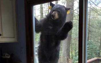 Η επίμονη αρκούδα που ήθελε μπράουνις