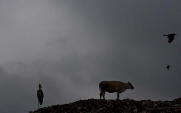 Λιντσαρίσματα μουσουλμάνων που τρώνε αγελάδες στην Ινδία