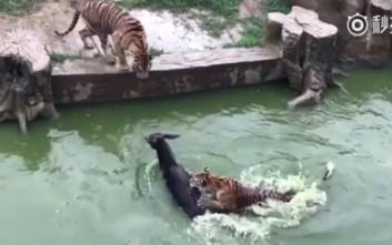 γάιδαρος τίγρης