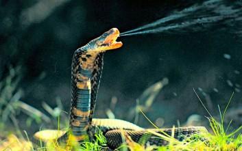 Τον δάγκωσε φίδι και αυτός δάγκωσε τη γυναίκα του για να πεθάνουν μαζί